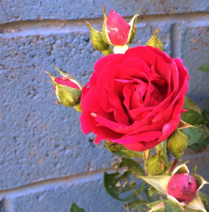 Rose_bush